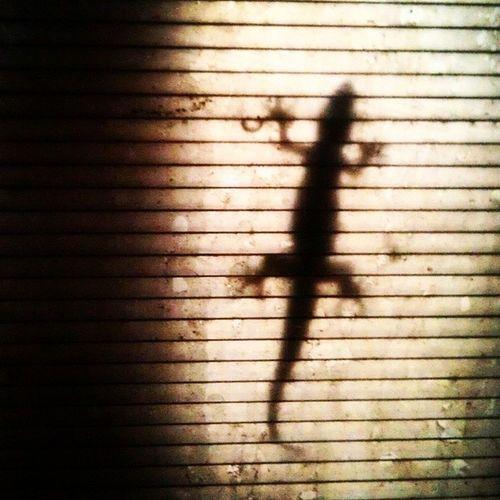 Gecko on a hot tin roof! Gecko Stickybugger Silhouette Localsthinkimaweirdofortakingpicturesofgeckos