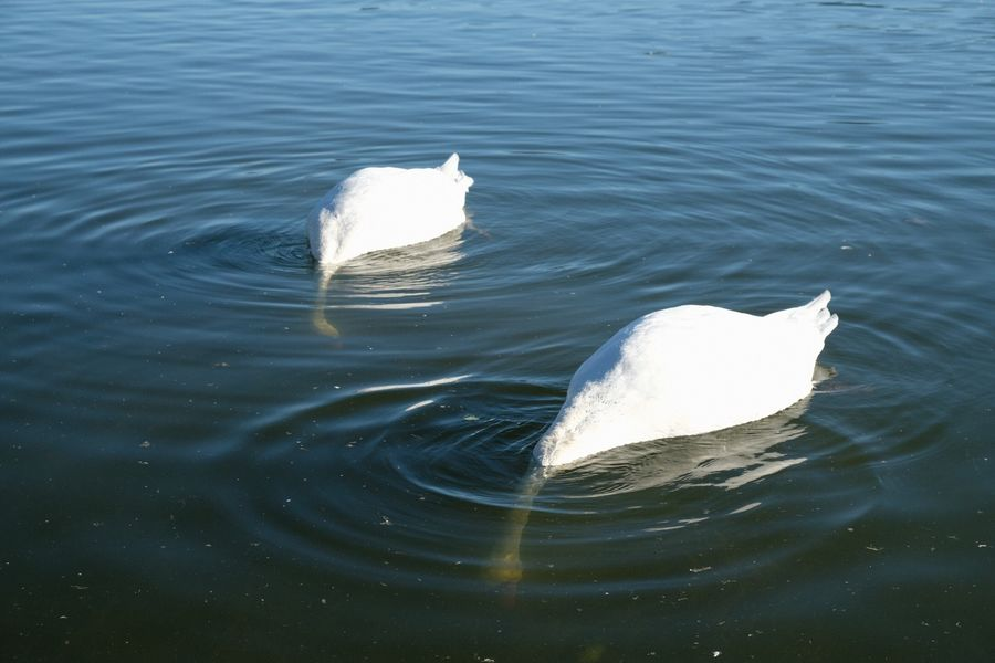 Two Swans Swans Water No People Rippled Animals In The Wild Day One Animal Nature High Angle View Swimming Waterfront White Color Animal Themes Animal Wildlife