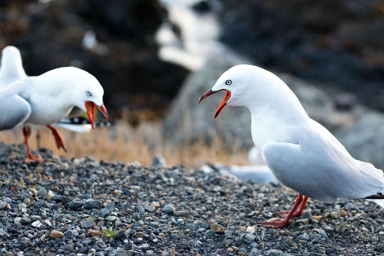 Seagulls on land