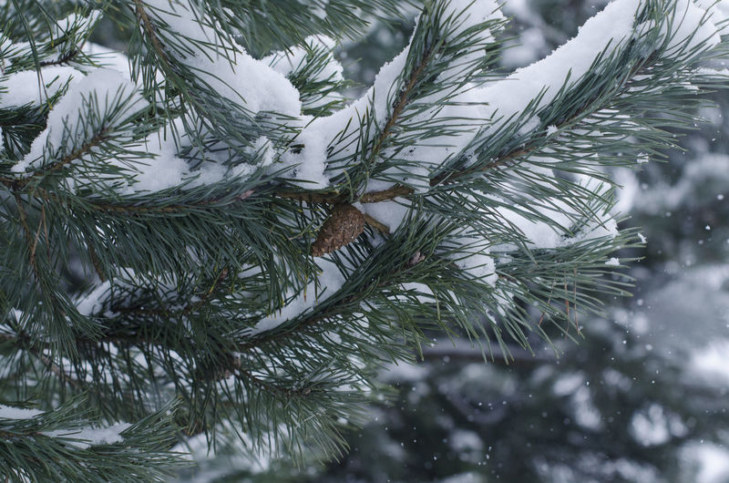 Spruce # Spruce #White #cones #green #needles #tree Green Tree Close-up Cone Day Nature Needles No People Outdoors Tree White