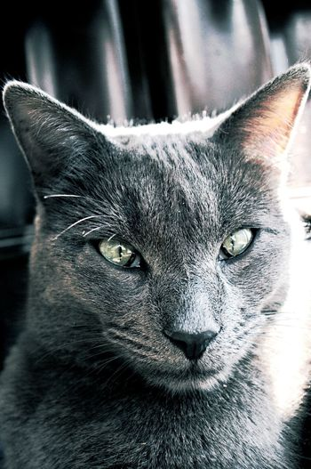 Grey Cat Beautiful ♥ Kitty Love Chilling In The Sun Green Eyes Cats Love Animals💕