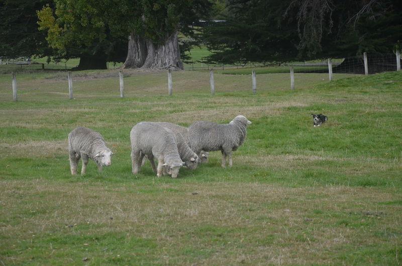 Sheep Sheep Dog