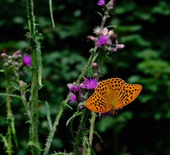 Flower Flowering Plant Animal Wildlife Beauty In Nature Animals In The Wild Animal Themes One Animal Insect Vulnerability  Butterfly - Insect Focus On Foreground Petal Flower Head Close-up