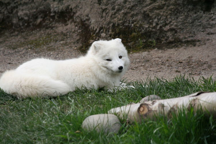 Close-up of arctic fox on grass