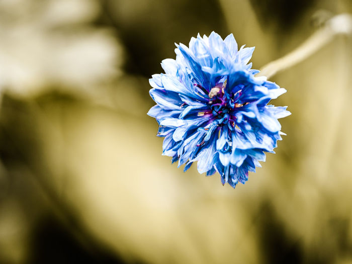 cornflower Beauty In Nature Blue Close-up Day Flower Flower Head Flowering Plant Fragility Freshness Growth Inflorescence Nature No People Outdoors Petal Plant Purple Selective Focus Vulnerability