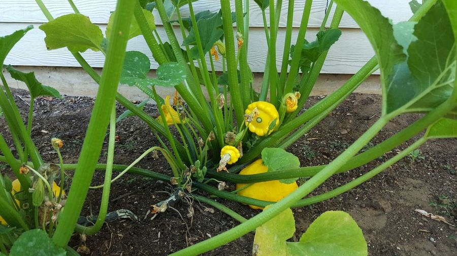 Patty Pan Squash Scallop Squash My Home Garden RePicture Growth