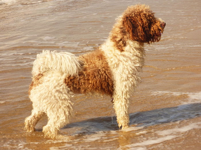Dog standing at beach