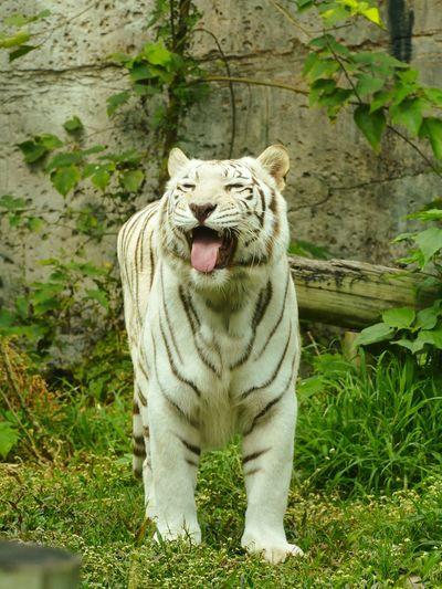 White Tiger Animals Animal Themes SLC45A2
