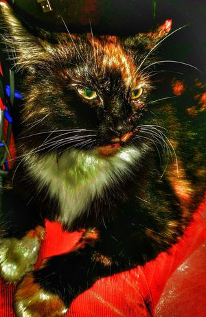 Kaki withher attatude im pretty i know it now leave me a lone Indoors  Close-up No People Day Cat Photography Cat Photography Cat Collection Calico Cat Calico Cats Are Special