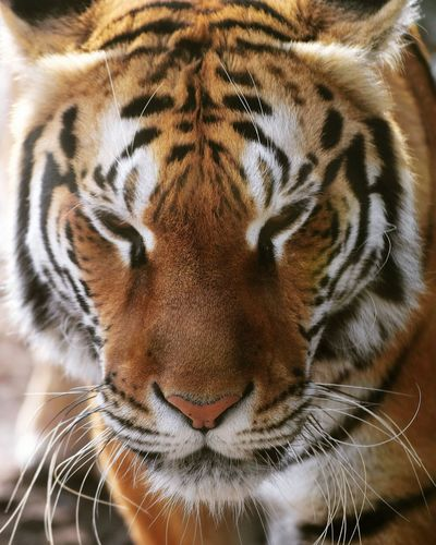 tiger Tigers Tigertiger Beautifull Strong Tigre Tiger Striped Close-up Big Cat Animal Markings Carnivora Feline Endangered Species