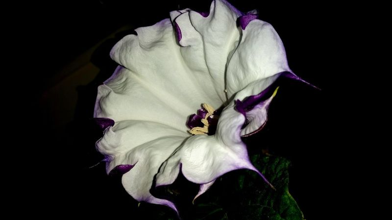Flower Petal Flower Head Fragility Black Background Beauty In Nature Nature Freshness No People Close-up Plant Growth Iris - Plant Studio Shot Outdoors Day Passion Flower Datura Stechapfel Trompetenblume
