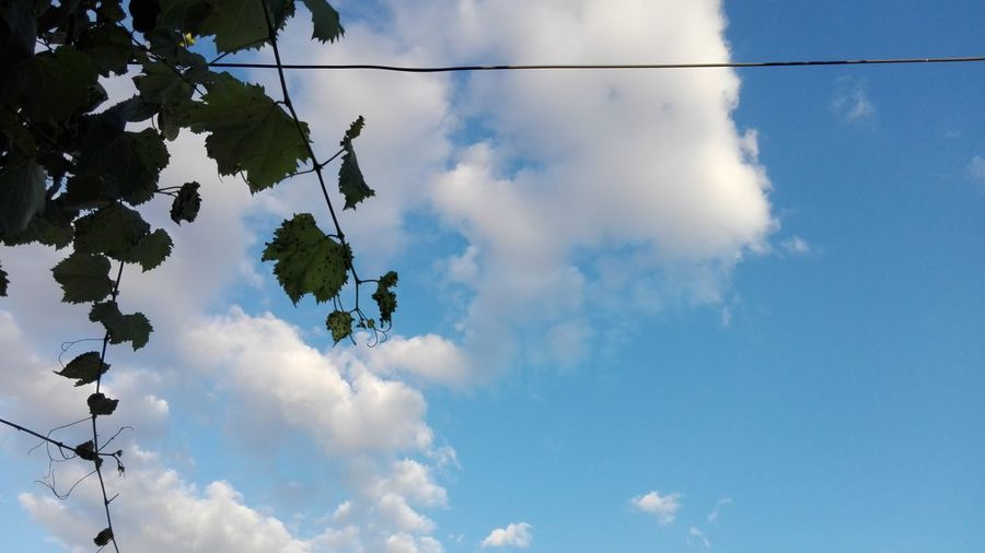 Cloud - Sky Sky Tree Outdoors Nature No People Low Angle View Blue Sky White Clouds Blue Sky And Clouds No Person Ionita Veronica WOLFZUACHiV Photos Wolfzuachiv Veronica Ionita On Market Eyeem Market Huawei Photography WOLFZUACHiV Photography Huaweiphotography Edited By @WOLFZUACHiV Sky And Branches Sky And Leaves Grapevine The Week On EyeEm