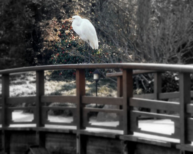 Avian Beauty In Nature Day Egret Japanese Garden Nature No People Outdoors Selective Focus