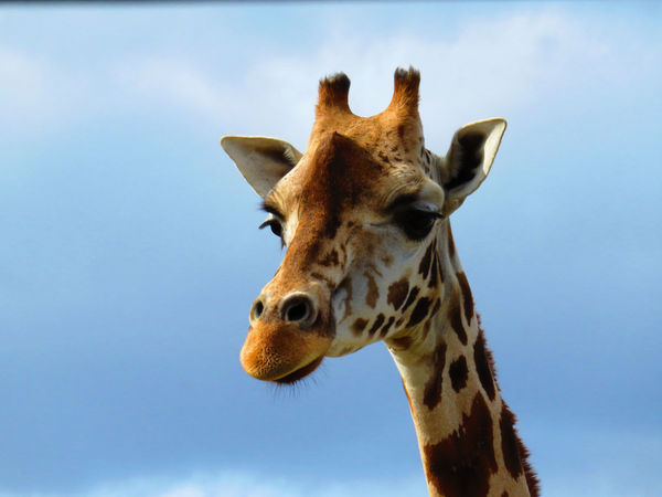 Animal Body Part Animal Head  Animal Markings Animal Themes Beauty In Nature Bird Of Prey Blue Close-up Day Focus On Foreground Giraffe Giraffe Herbivorous Low Angle View Mammal Natural Pattern Nature No People Outdoors Part Of Sky Wildlands  Zoo