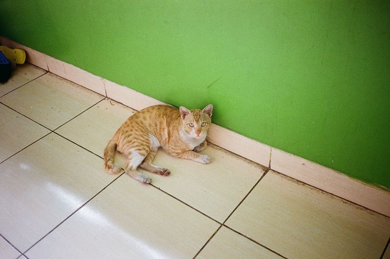 High angle view portrait of tabby cat on tiled floor