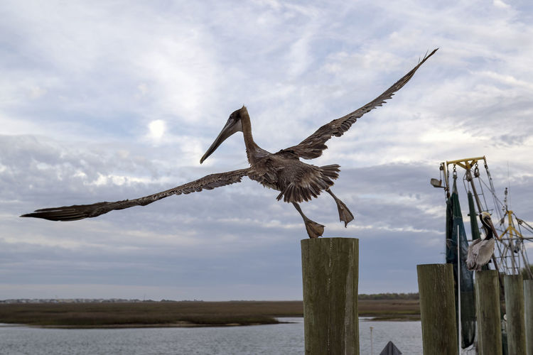 Pelican Take