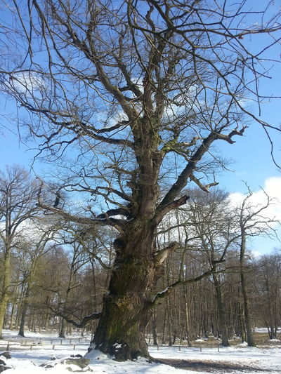 Eiche Ivenack Winter Schnee Snow Baum Tree Oak Ivenacker Eiche