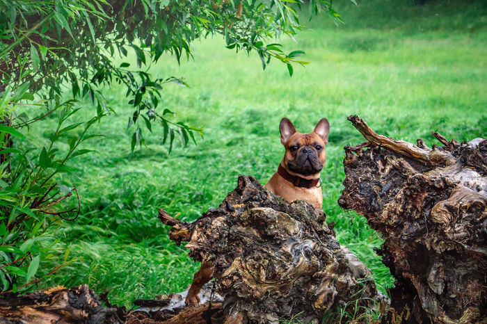 Hundefotografie Französische Bulldogge  Tierfotografie Hunde Dogs Of EyeEm EyeEm Selects Hundeportrait EyEmselect Düsseldorf Butsosexy Pets Tree High Angle View Field Grass Green Color Grassland Countryside Green