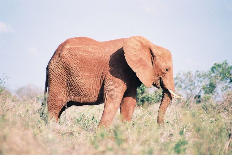 Side view of elephant on field during sunny day