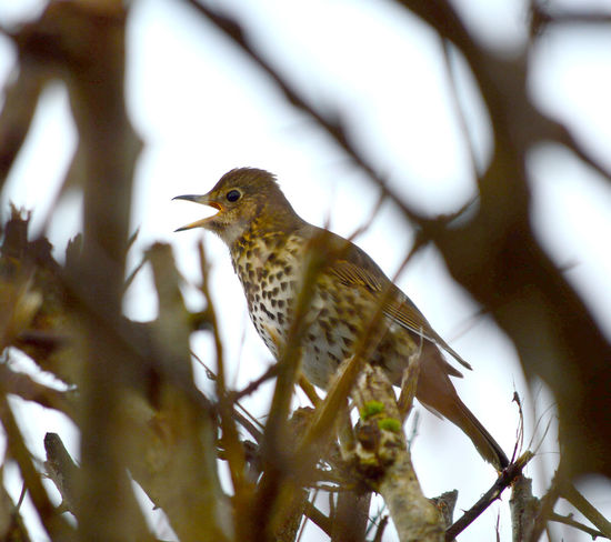 Song Thrush, turdus philomelos Song Thrush Turdus Philomelos Animal Themes Animal Wildlife Animals In The Wild Beauty In Nature Bird Branch Close-up Day Nature No People One Animal Outdoors Perching Robin Thrush Tree
