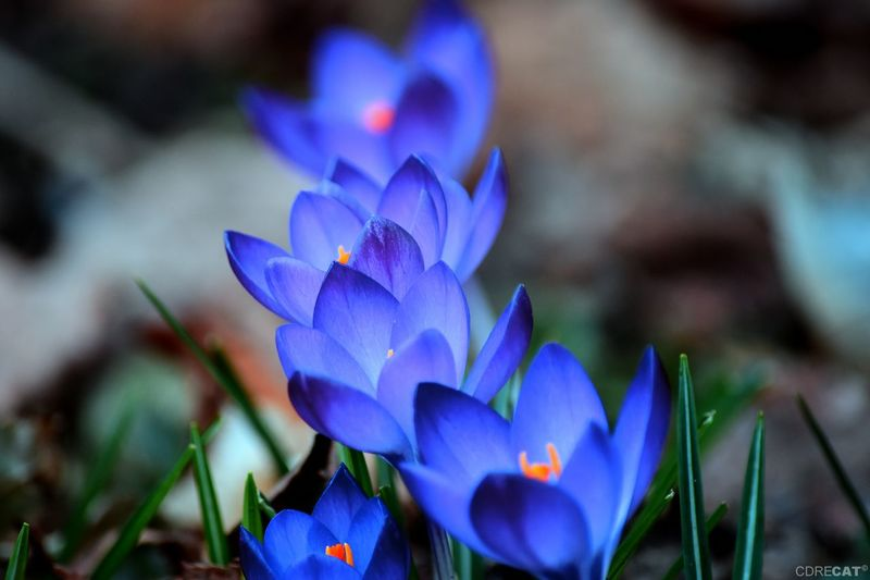 EyeEm Nature Lover EyeEm Masterclass Nature_collection Spring Is Coming  Springtime Spring Crocus Flower Spring Flowers Garden Flower Crocus Blue Purple Close-up Plant Flowering Plant