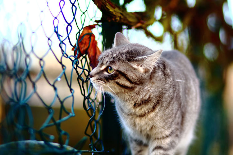 Close-Up Of Cat By Chainlink Fence