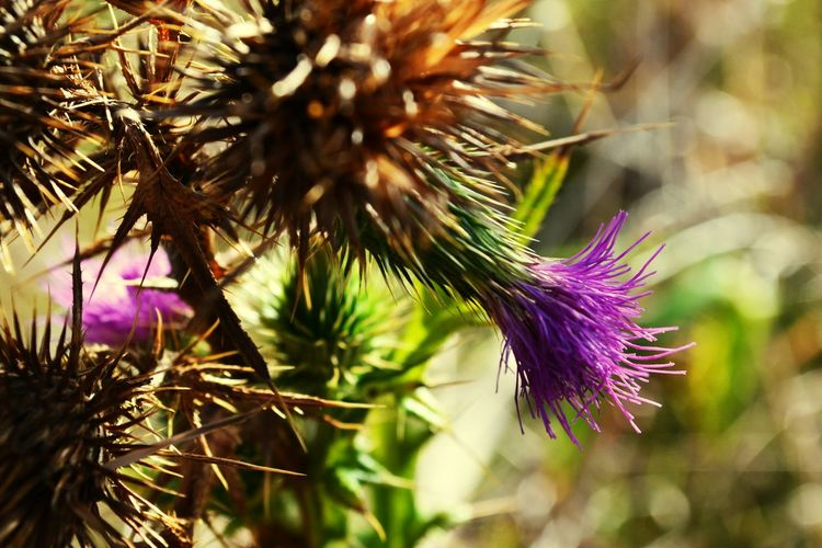 My Kind Of Flower Beautiful Nature Foreground Focus Thistle Flower Purple Flowers Bokehlicious Photography Nature's Colours  Make A Point Natural Pattern Wallpaper