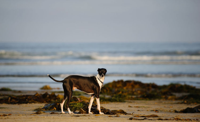Dog standing at beach against sky