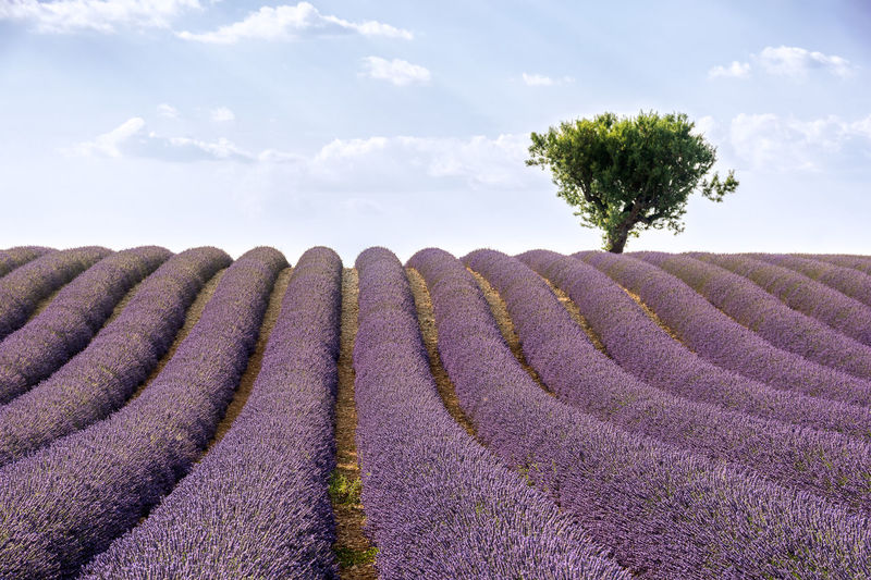 Solitude. Summer is just around the corner now, can't wait for the lavender fields here in Provence to come alive. Beauty In Nature Between Rows Day France Freshness From A Tourist Perspective Growth Lavender Lavender Color Lavender Colored Lavender Field Lavender Flowers Lavender Purple Lavender Rows Lavenderflower My Travel Photography Nature No People Outdoors Provence Scenics Sky Summer Sommergefühle