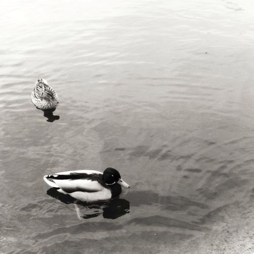 Black And White Collection  Humide diligence Ducks Bnw_friday_eyeemchallenge
