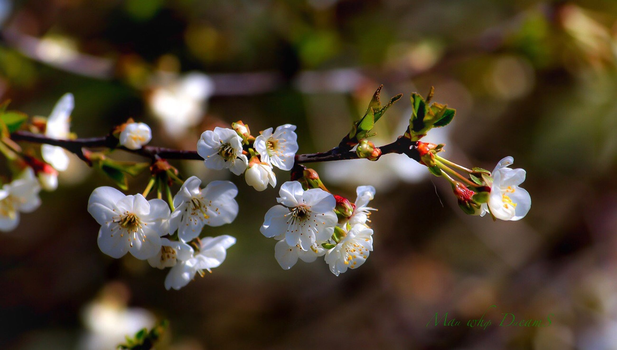 flowering plant, flower, plant, growth, fragility, beauty in nature, vulnerability, freshness, close-up, petal, blossom, flower head, white color, inflorescence, springtime, focus on foreground, tree, branch, botany, nature, no people, pollen, cherry blossom, outdoors, cherry tree, spring