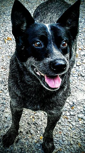 Blue Heeler Named Cole Australian Cattle dog Dog Pets Domestic Animals One Animal Mammal Animal Themes Portrait Looking At Camera Sticking Out Tongue No People Day Protruding Indoors  Nature Close-up
