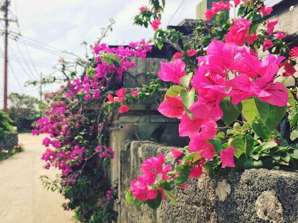 ブーゲンビリア ブーゲンビレア Bougainvillea Bougainvilleas Bougainvillea Flower Flower Flowers Taketomi Taketomi Island Yaeyama Okinawa Tropical Tropical Flowers
