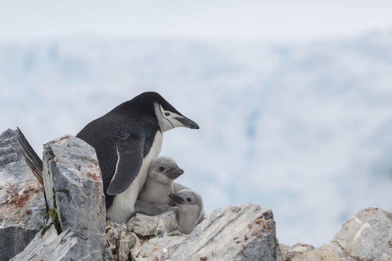 Chinstrap penguin with chicks nesting at spigot peak with mountains  and glaciers, antarctica