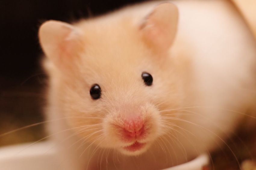 Hamster Love Hamsters Animal Themes Close-up Cute Day Domestic Animals Hamster Hamster Life Indoors  Looking At Camera Mammal No People One Animal Pets Portrait