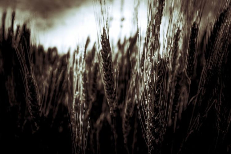 Wheat Wheat Wheat Field Grain Harvest Agricultural Agricultural Photo Vintage Sepia Shot With A Pentax PENTAX K-70 Summer Crop  Growth Close-up Nature Outdoors No People Beauty In Nature Day Plant Agriculture Sky