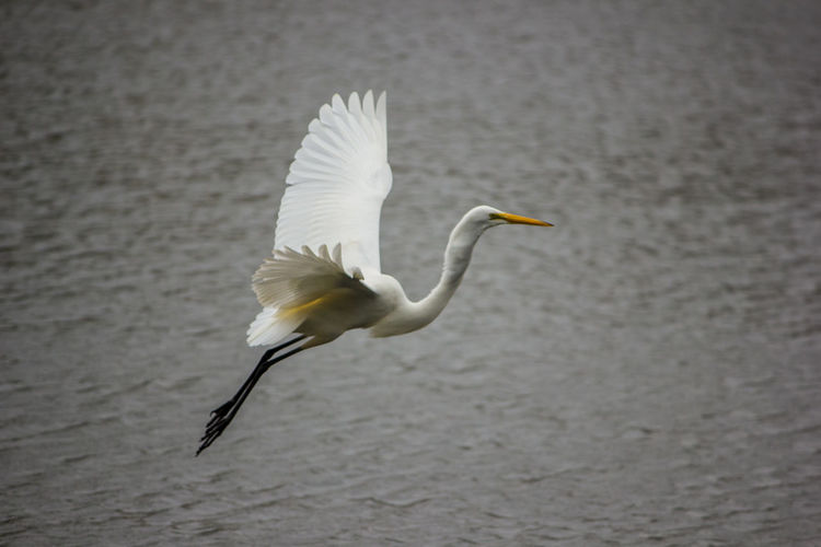Animal Themes Animal Animals In The Wild Animal Wildlife Vertebrate Bird One Animal Water Nature No People Day Flying Spread Wings Egret White Egret Water Bird Wildlife Wildbird Flying Bird Bird In Flight Bird Catching Fish Great Egret White Color Focus On Foreground Lake Side View Beak Animal Neck