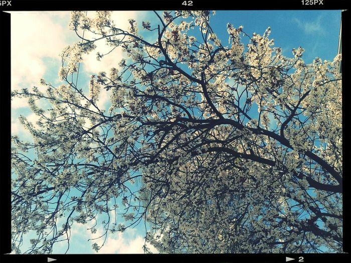 Enjoying Nature Photography 桜 ドイツの桜