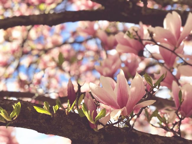 Blossom Wallpaper Magnolia EyeEm Selects Plant Growth Flower Flowering Plant Nature Beauty In Nature Tree Close-up Fragility Freshness Focus On Foreground Pink Color Blossom No People
