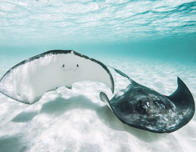 Close-up of stingrays swimming in sea