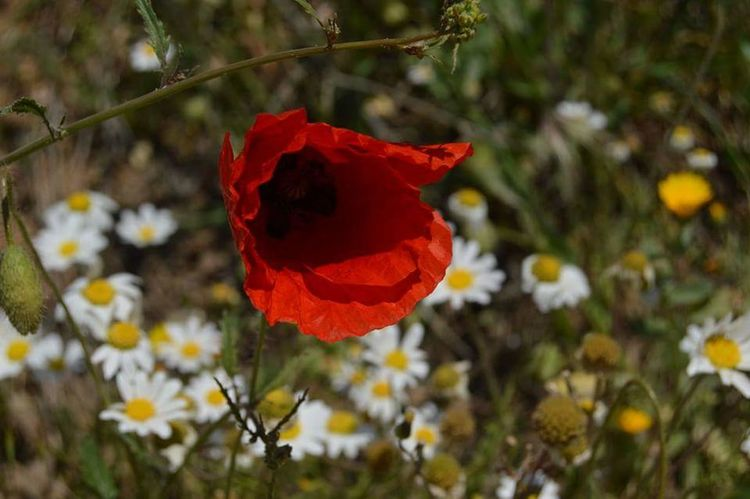gemlik türkiye Benimkadrajim EyeEm Nature Lover EyeEm Best Shots Landscape Türknikon Flower Red Nature Plant No People Poppy Flower Head Beauty In Nature Leaf Petal Close-up Outdoors Freshness Summer Growth Fragility Day Tree