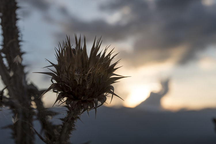 Close-up of wilted plant against sky at sunset