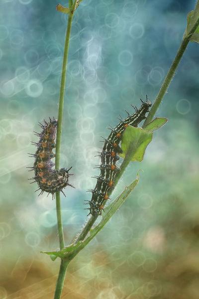Carterpillars Insect Carterpillars Animal Themes Beauty In Nature Macro Macro Photography Macro Beauty Artistic