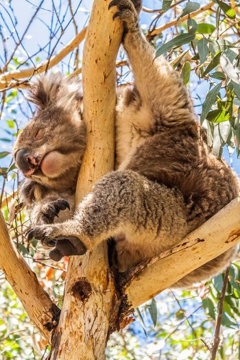Koala Koala Bear Sleepy Sleeping Peaceful Close Up Exotic Animals Australian Wildlife Australia Hiding In The Trees Hanging Out Eucalyptus Tree Eucalyptus Great Ocean Road Great Ocean Road, Australia Hidden Gems
