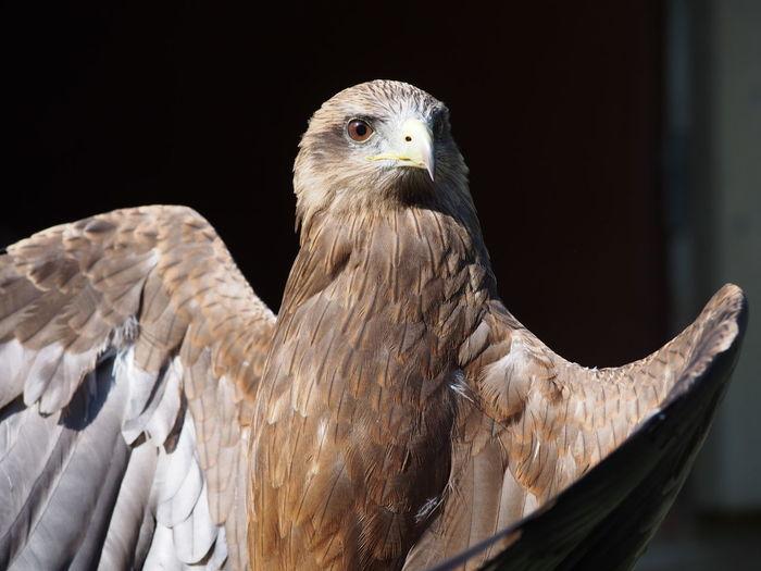 Bird Of Prey Close-up Eagle Hawk National Centre For Birds Of Prey Nature Spread Wings Wildlife