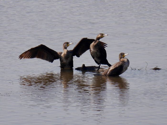 Shags Cormorants Bird Lake No People Animal Themes Togetherness Outdoors Day Nature