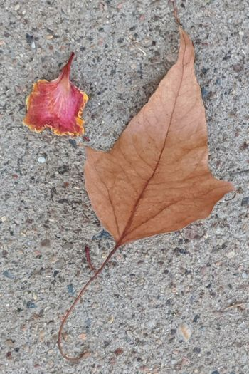 High angle view of maple leaf on leaves