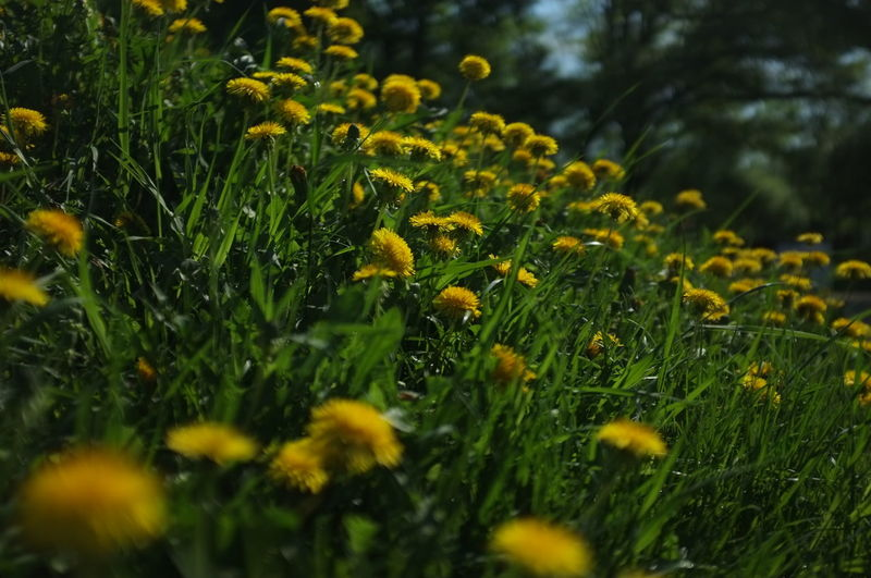 Plant Growth Flower Flowering Plant Beauty In Nature Yellow Selective Focus Field Vulnerability  Nature Fragility Freshness Green Color Land Close-up No People Grass Outdoors Day Inflorescence Flower Head Spring