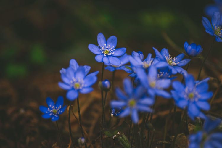 CLOSE-UP OF BLUE FLOWERS