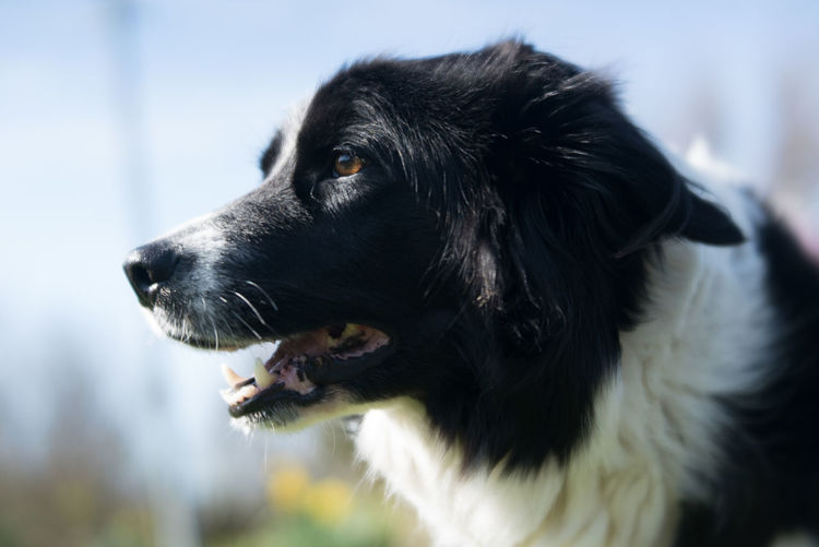 Animal Themes Close-up Day Dog Domestic Animals Focus On Foreground Mammal Nature No People One Animal Outdoors Pets Sheepdog